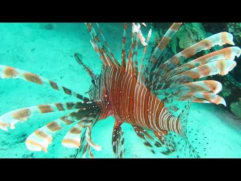 Creation Quest Aquarium Minute -  Red Lionfish