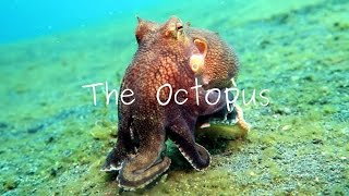 Masters Of Camouflage: The Octopus