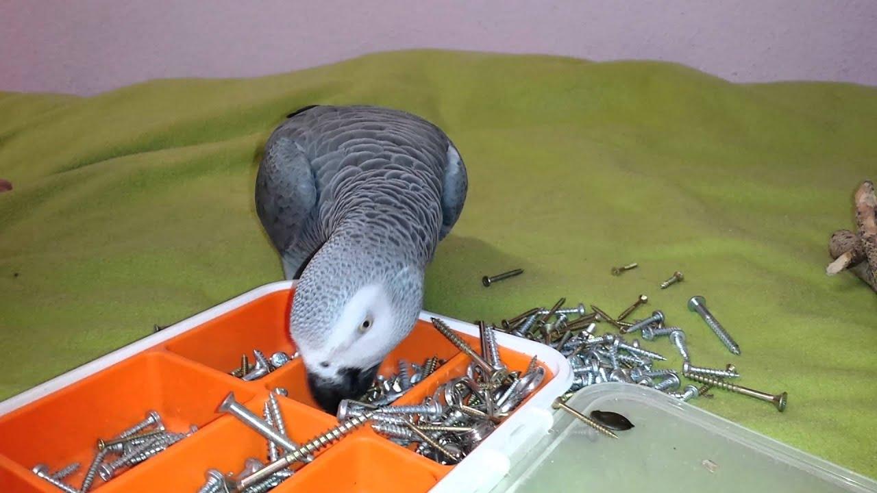 Graupapagei bayu das schraubenmonster billiges