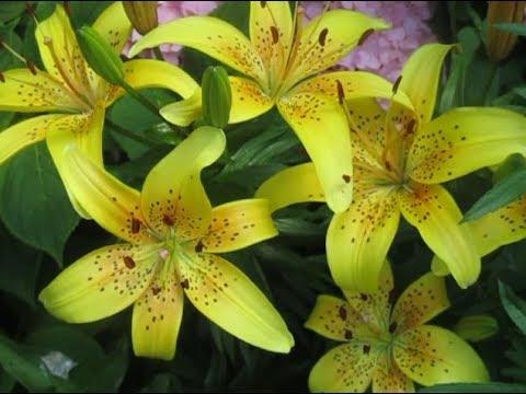 """""""Июль в Светлом! Буйство цветов-2. Китайская гвоздика, гортензия, лилии! Царские кудри! Тётя Валя"""""""