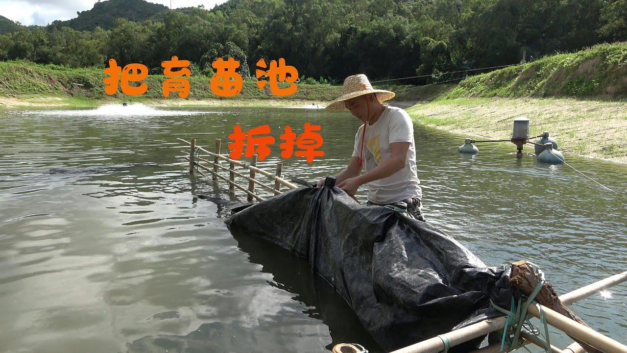【老林赶野】老林育虾苗第七天,今天把育苗池拆掉,让27万尾虾苗回归鱼塘