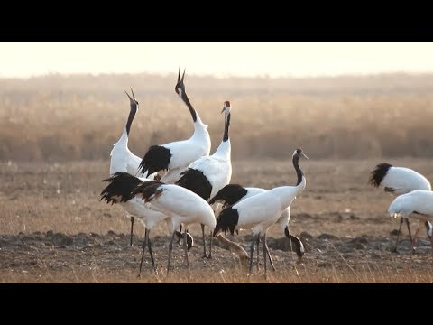 Over 500 Red-crowned Cranes Arrive in East China Wetlands for Winter
