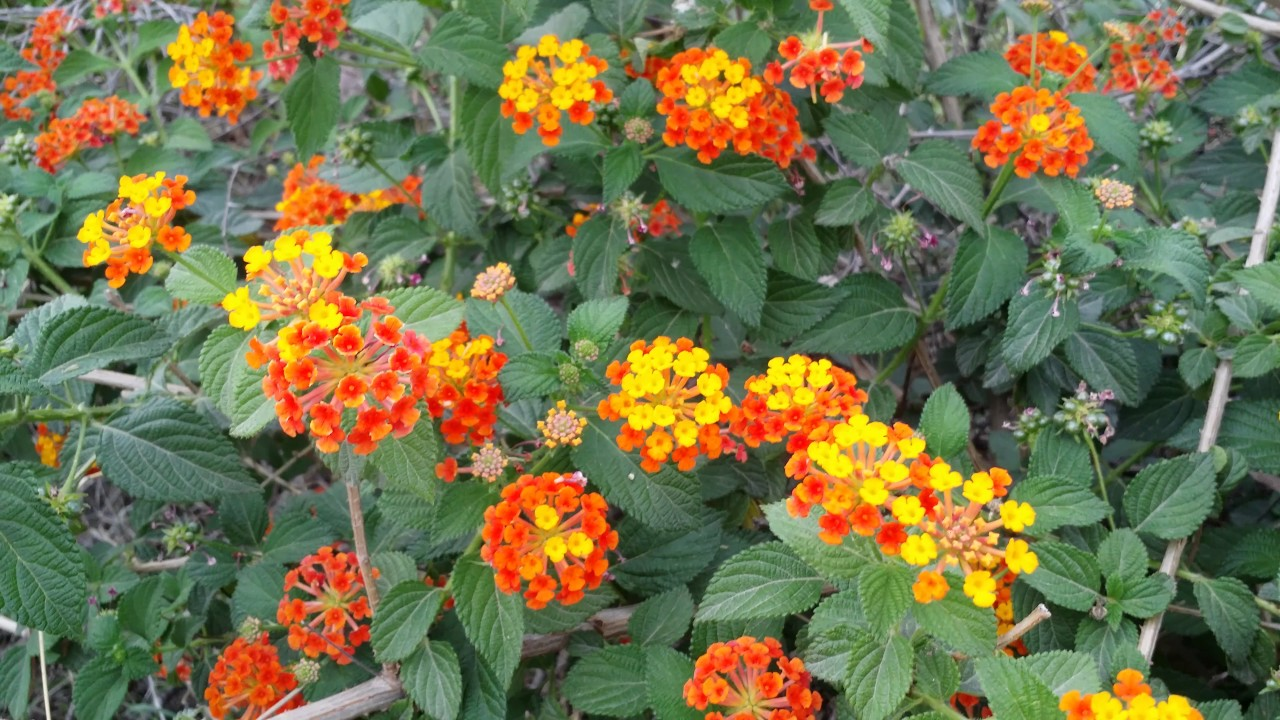 Lantana Plant Care And Propagation Youtube