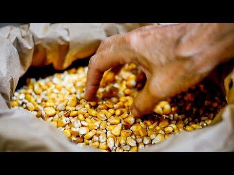 Le maïs,des animaux bien nourris, des produits de qualité