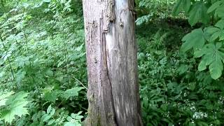 Badger Scratching Trees