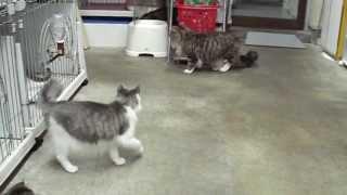猫の父ちゃん子猫に指導、危険な遊びはいかんぜよ