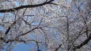 2014 新潟県燕市金山神社の桜