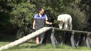 Teddy (goldendoodle) Boot Camp Dog Training Video