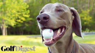 Meet Viktor: The Golf-Loving Dog