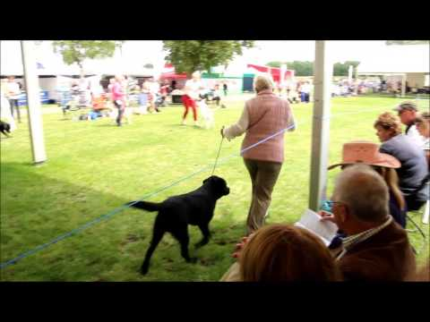 East of England Championship Dog Show Labrador