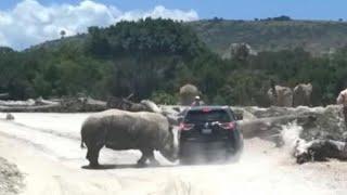Safaripark Nashorn schüttelt Auto durch