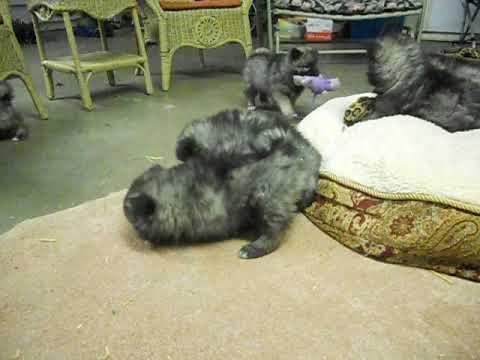 Keeshond Puppies at Play