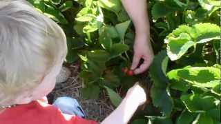 Jacob Strawberry Picking