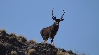 2020 A Roar like no other: Hunting the Roaring Red Stags of Marlborough NZ Pre COVID-19 Lockdown