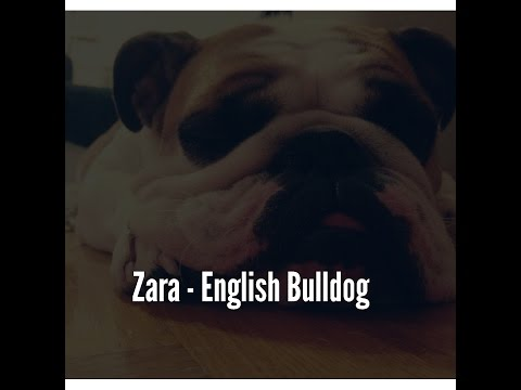 Zara - English Bulldog puppy