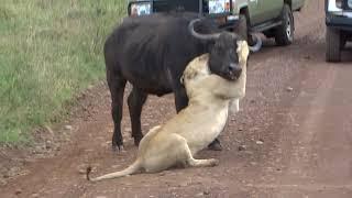 Lion killing Cape Buffalo