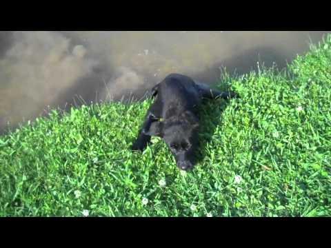 Black lab puppy first swim