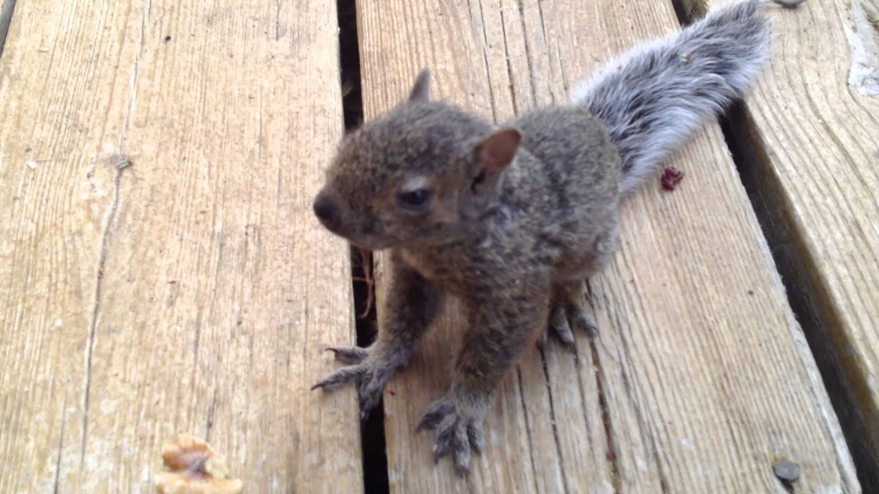 how to raise a baby squirrel