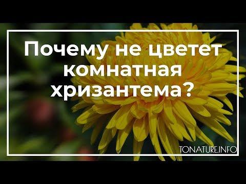 Почему не цветет комнатная хризантема? | toNature.Info