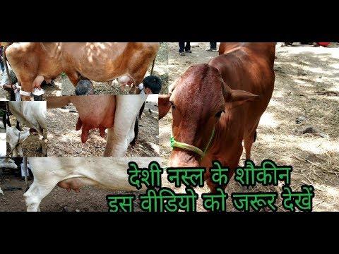 beautiful desi cowes |||| sahiwal & ganga tiri, gadhni mela ara 19 June 2018