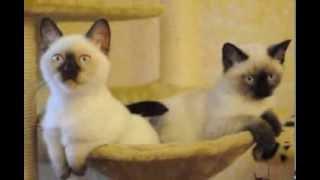 Британские котята шоколад-поинт и сил-поинт