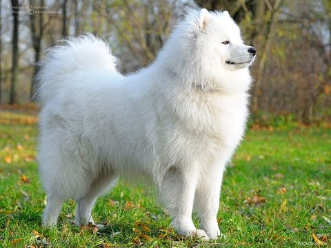 The 10 Most Expensive Dog Breeds World