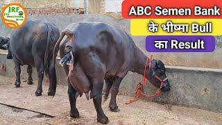 👍Rajeev सरपंच जी के #ABC #Semen Bank के #भीष्म #Bull का Result.👍Himat Sir Farm 98131 17054👍