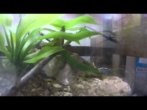 green anole eating mealworm