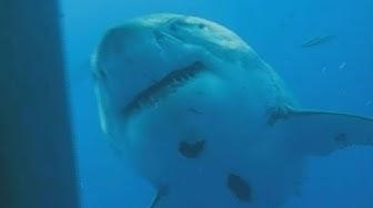 """Größter Hai der Welt """"Deep Blue"""": Forscher zeigen neues Video"""