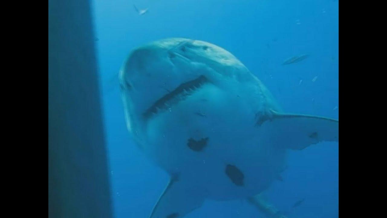 der größte hai der welt
