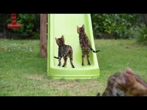 Bengal kittens on slide
