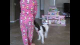 We borrowed a Springer Spaniel for a few days, much to Kierally's d...