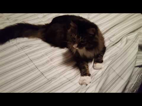 Nick The Maine Coon Bed making when you have a Maine coon