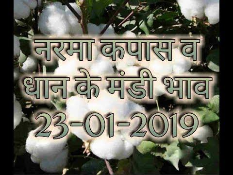 Mandi bhav today 23-01-2019 // नरमा भाव today // कपास मंडी भाव व तेज़ी मंदी रिपोर्ट // धान भाव आज का