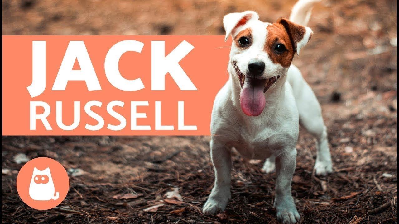 Tout savoir sur le jack russel terrier youtube - Jack russel queue coupee ...