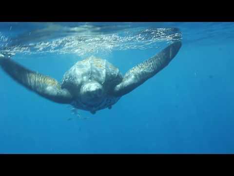 Worlds Largest Turtle! - LEATHERBACK SEA TURTLE - Great Barrier Reef Australia