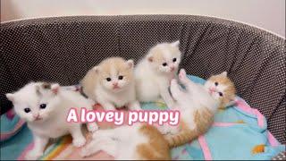 Lovely Super Cute Kittens |scottish fold