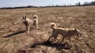 Западно сибирские Лайки на прогулке