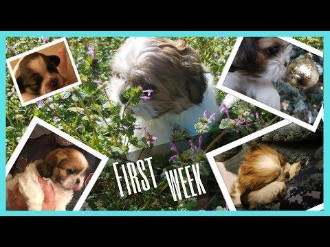 8 Week Old Shih Tzu Puppy - Giselle Puppy Vlog - first week home (Jatzu)