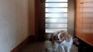 Dog(Cavalier King Charles Spaniel) Pain attack,Syringomyelia.A