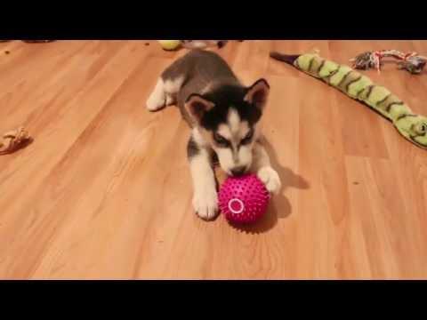 Siberian Husky Cute Puppy Freya Plays With Ball