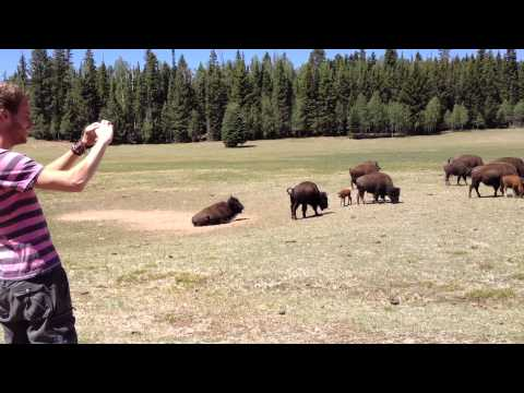 Angry herd of bisons attack Dutch tourist at Grand canyon National park.