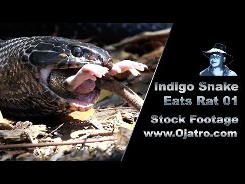Indigo Eats Rat 01 Stock Footage
