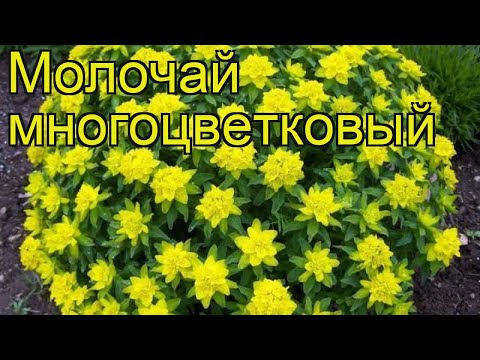 Молочай многоцветковый. Краткий обзор, описание характеристик euphorbia polychroma