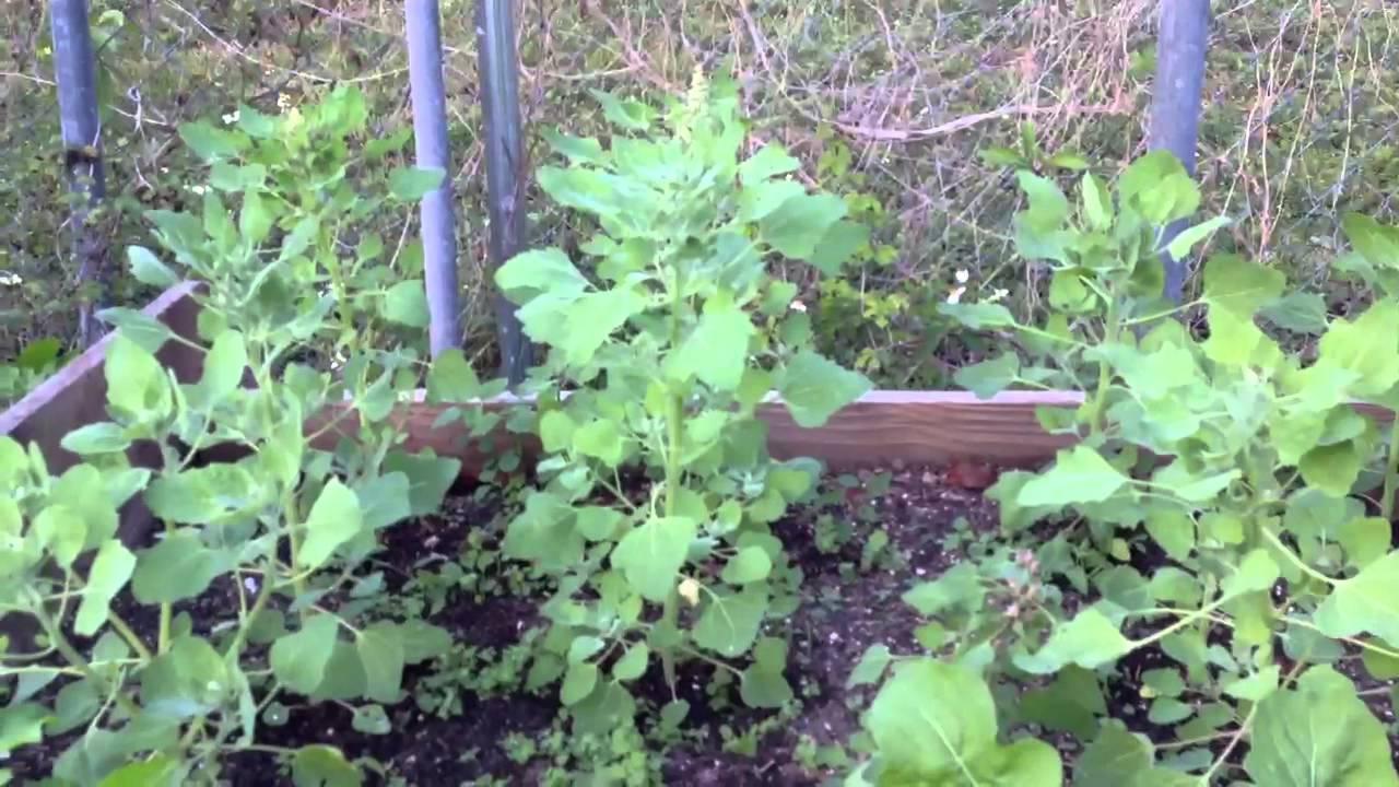 Young Quinoa Plant
