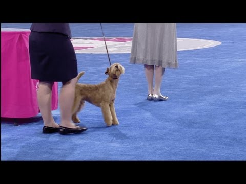 Group Judging - Terrier