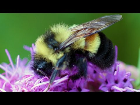 The Bumblebee Has Officially Been Declared Endangered Bumblebees have been around less and less. The bumblebee has declined 87 percent in the past 20 years. The Rusty Patched Bumblebee, is the type that is ..., From YouTubeVideos