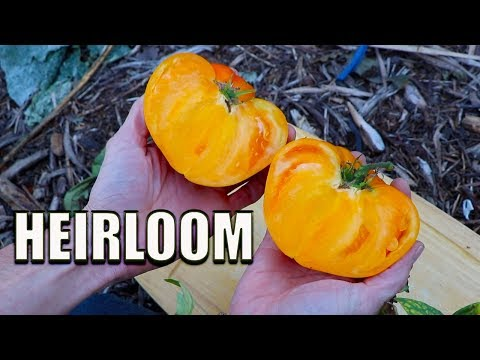 BIGGEST HEIRLOOM TOMATO Of The Year! Organic Gardening Harvest