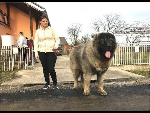 THE BIGGEST DOG IN MY BREED Jozo DOGS at the age of 15 months .