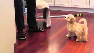 bonnie our adorable 3 month old havanese puppy does her tricks